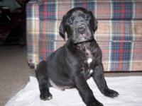 AKC male and female great dane puppies. Father has