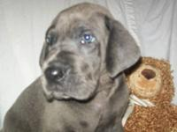 We have a beautiful litter of blue AKC Great Danes. 8