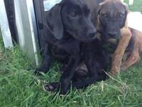 6, 13 week old AKC registered Great Dane pups for sale!
