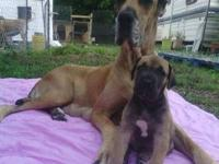 Hey y'all im selling my beautiful great dane pups. They