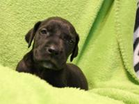 AKC Great Dane puppies looking for their special
