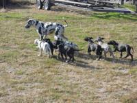 Great Dane Pup oh so loveable and need I good home to