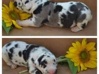 AKC Great Dane puppies. We only have 2 babies left in