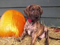 AKC American Great Dane Puppies I have 2 beautiful AKC