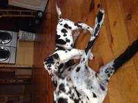 AKC Great Dane Puppies 1 Harlequin Male: 13 weeks old