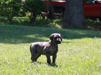 AKC reg Great Dane new puppies. Dogs are 37.5 % euro