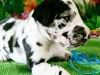 We have 8 gorgeous akc terrific dane new puppies. We