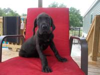 I have 2 man AKC Great Dane puppies offered. Both black