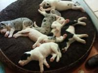 AKC registered Great Dane puppies born September 17.