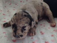 We have 10 beautiful Great Dane young puppies that were