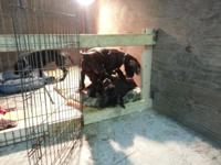 AKC register Great Dane Puppies all set for their