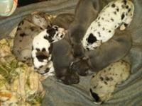 We have 7 AKC Great Dane Puppies for sale. They are