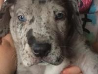 AKC Great Dane puppies...I have males and female that