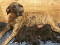 Black akc great dane puppies born July 13th they will