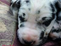 Beautiful Great Dane puppies are here! These pups have