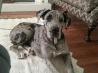 I have a litter of AKC great dane puppies, parents are