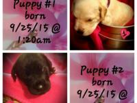 Puppies are 25% Euro. 1- Fawn female 2- black with