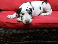 I have two beautiful Great Danes available! A harlequin