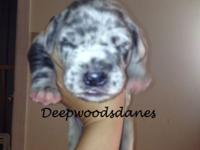 We Currently have 5 Great Danes babies available . Born