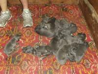 We have a beautiful new litter of blue Great Dane