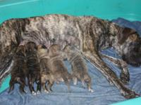 We have 5 gorgeous Great Dane young puppies readily