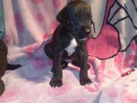 AKC Great Dane Puppies. Both parents on site. Euro and
