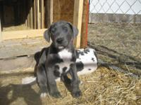 AKC GREAT DANE puppies, We are so pleased to announce