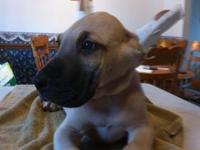 Lovely litter of Cropped Great Dane puppies for sale to