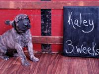 AKC registered Great Dane pup color pure over 5