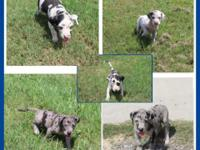 I have 12 AMAZINGLY cute great Dane puppies that are