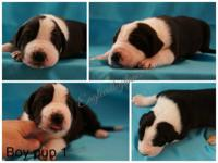 AKC Great Dane Puppies located in Morgantown, WV Born