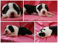 AKC Great Dane Puppies in West Virginia. Deposits to