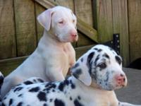 8 wk old Great Dane puppies, one male - two females,