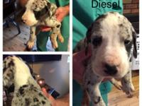 AKC Great Dane puppies - there are three Males and two