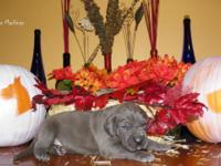 I have a stunning litter of 7 AKC Registered Great Dane