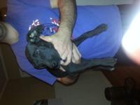 "Beautiful AKC Blue male Great Dane Puppy. ""Case"" . $900"