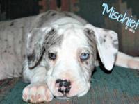 AKC Merle Mantle Female Great Dane Puppy 8 weeks old.