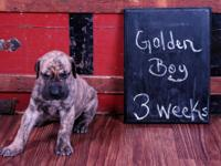 AKC registered Great Dane puppies color pure with over
