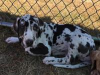 AKC registered Harlequin female Great Dane puppy for