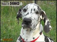 Liam is a heavy marked harlequin male from our Akira