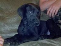 BEAUTIFUL Solid Black Great Dane female 6 weeks old.