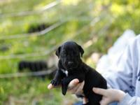 BEAUTIFUL BRINDLE MALE GREAT DANE PUPS AVAILABLE TO