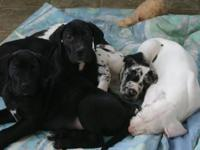 Great Dane Puppies we have 2 Boys Black with white