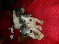 Males and Girls, Rare Merle Piebald (mostly white with