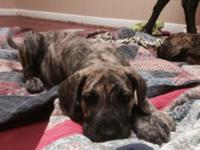 Brindle, & Blue Brindle Available *Ready to go! 8 weeks