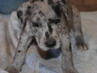AKC Great Danes for sale. Great temperment and ARE all