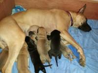 AKC Great Dane puppies born 3/25/14 Daisy had 8