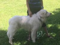 Baylor is an intact 17 month old Great Pyrenees which