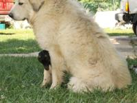 Eriphos Farm Great Pyrenees has two trained livestock