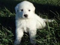 -English Springs Great Pyrenees 2013 Litter- 6-Females